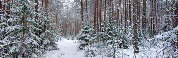 Лес в районе деревень Чаща и Кремено, Гатчинский район, сосны, ели, снег