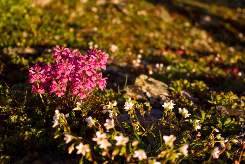 Мытник Охотский (Pedicularis ochotensis Khokhr.) на хребте между Магаданским (1-м Арманским) и Дукчинским перевалами