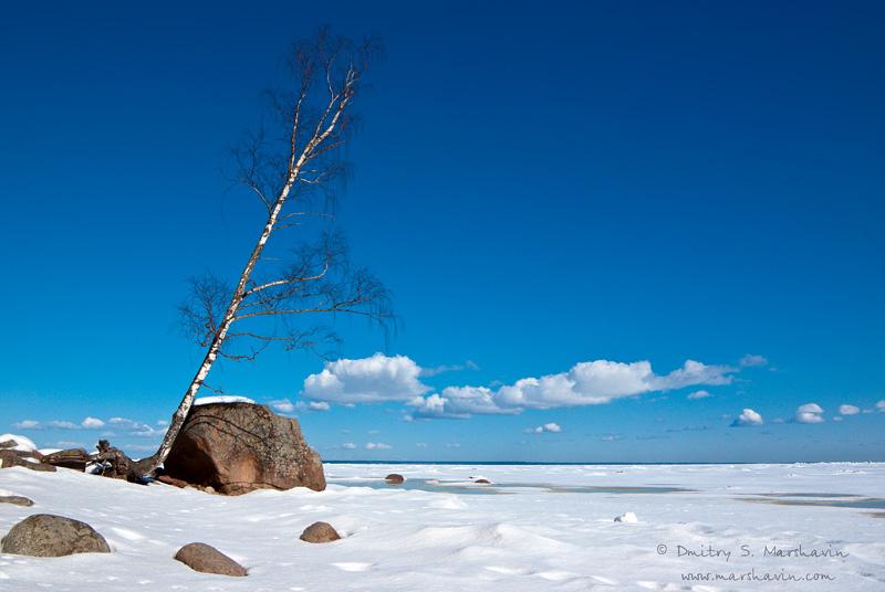 Финский залив, снег, камень, наклоненная береза