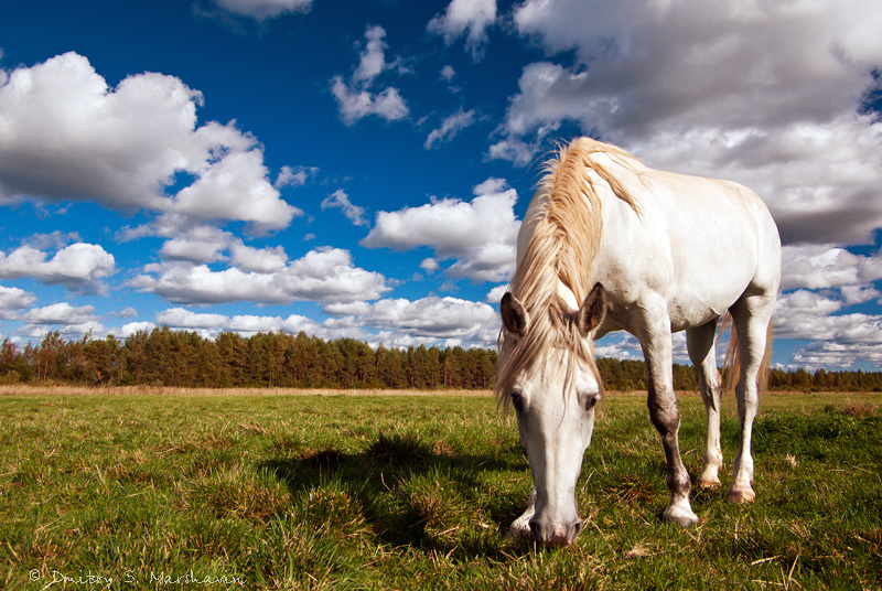 Sitenka village, Luga district, Leningrad region. Деревня Ситенка, Лужский район, Ленинградская область. Белая лошадь посется в поле.
